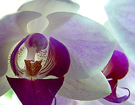 orchipaars (17k image)