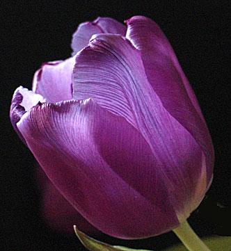 tulp (34k image)