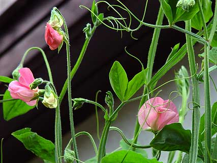 lathyrus2.jpg